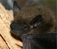 Tampa Bay Bats can humanely relocate big brown bats