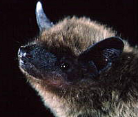 Tampa Bay Bats can humanely relocate Evening Bats