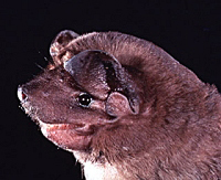 Tampa Bay Bats can humanely relocate Little Mastiff Bats