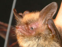 Tampa Bay Bats can humanely relocate Northern Long-Eared Bats