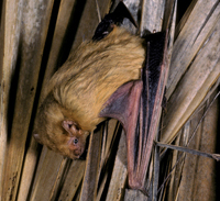 Tampa Bay Bats can humanely relocate Northern Yellow Bats